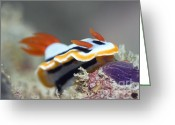 Nudibranch Greeting Cards - Nudibranch underwater.  Greeting Card by MotHaiBaPhoto Prints