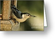Audubon Greeting Cards - Nuthatch Bird Greeting Card by Pamela Baker