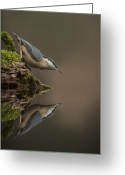 White Feather Greeting Cards - Nuthatch Reflection Greeting Card by Andy Astbury