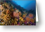 Sea Anemones Greeting Cards - Nutrients From Sea Birds Drop Greeting Card by Paul Nicklen