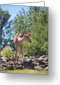 Blau Greeting Cards - Nyala Greeting Card by Angela Doelling AD DESIGN Photo and PhotoArt