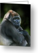 Ape. Great Ape Greeting Cards - Nyango Greeting Card by Julie L Hoddinott