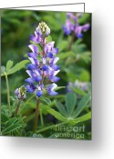 Hill Photographs Greeting Cards - O Sweet Lupine Greeting Card by Brooke Roby