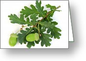 Thanksgiving Greeting Cards - Oak branch with acorns Greeting Card by Elena Elisseeva