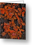 Randall Templeton Greeting Cards - Oak leaves at schram Park. Greeting Card by Randall Templeton