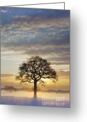 Contre Jour Greeting Cards - Oak Tree December Sunrise Askham Bryan York 2009 Greeting Card by John Potter