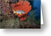 Oblique Greeting Cards - Oblique-banded Sweetlip And Sea Fan Greeting Card by Beverly Factor
