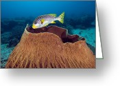 Oblique Greeting Cards - Oblique-banded Sweetlips Greeting Card by Matthew Oldfield