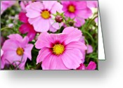 Northwest Flowers Greeting Cards - October Cosmos Greeting Card by Cathie Tyler