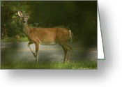 White Tailed Deer Greeting Cards - (Odocoileus virginianus) Greeting Card by Stephen Alvarez