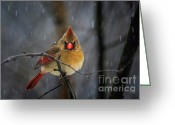 Cardinals In Snow Greeting Cards - Oh No Not Again Greeting Card by Lois Bryan