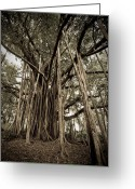 Monochrome Greeting Cards - Old Banyan Tree Greeting Card by Adam Romanowicz