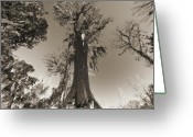 Sepia Greeting Cards - Old Cypress Tree Greeting Card by Dustin K Ryan