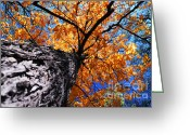 Shine Greeting Cards - Old elm tree in the fall Greeting Card by Elena Elisseeva
