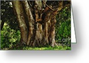 Beautiful Tree Greeting Cards - Old Fig Tree Greeting Card by Kaye Menner