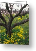 Orchards Greeting Cards - Old Orchard in Bloom Greeting Card by Kathy Yates