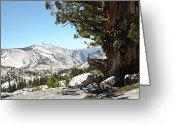Old Tree Greeting Cards - Old Tree At Yosemite National Park Greeting Card by Mmm