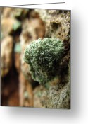 Oldgrowth Greeting Cards - Oldgrowth Lichen Mimic Greeting Card by Joshua Bales