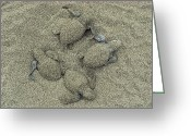 Santa Rosa Beach Greeting Cards - Olive Ridley Sea Turtles Hatching Greeting Card by Bill Curtsinger