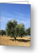 World Culture Greeting Cards - Olive tree in Provence Greeting Card by Bernard Jaubert