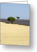 Fragrance Greeting Cards - Olive trees. Provence Greeting Card by Bernard Jaubert