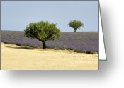 Fragrance Greeting Cards - Olives tree in Provence Greeting Card by Bernard Jaubert
