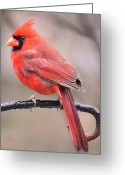 Cardinals. Wildlife. Nature. Photography Greeting Cards - On A Rainy Day Greeting Card by Kimberly Chason