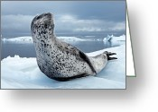 Ice Floes Greeting Cards - On Alert, An Adult Leopard Seal Scans Greeting Card by Paul Nicklen
