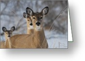 Does. Winter Greeting Cards - On Alert Greeting Card by Janelle Streed