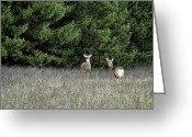 White Tailed Deer Greeting Cards - On Alert Greeting Card by Thomas Young