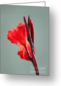 Canna Greeting Cards - On Fire Greeting Card by Suzanne Gaff