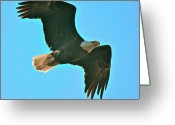 Bird Of Prey Mixed Media Greeting Cards - On patrol Greeting Card by Robert Pearson