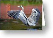 Blue Heron Photo Greeting Cards - On The Brink Greeting Card by Fraida Gutovich