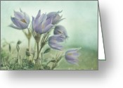 Crocus Greeting Cards - On The Crocus Bluff Greeting Card by Priska Wettstein