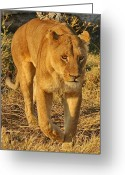 Prowling Greeting Cards - On the Hunt Greeting Card by Tom Cheatham