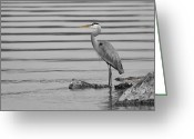 Herons Greeting Cards - On the Rocks Greeting Card by Michel Soucy