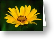 Flowers Floral Greeting Cards - One Daisy Greeting Card by Juergen Roth