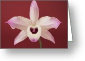 Dendrobium Greeting Cards - One Dendrobium Of One Flower, The Front Greeting Card by A.T. White