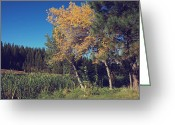 Aspen Trees Greeting Cards - One in a Million Greeting Card by Laurie Search