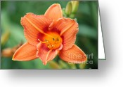 Orange And Green Greeting Cards - One Orange Lily Bloom Greeting Card by Carol Groenen