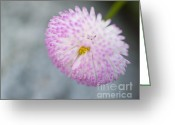 Roze Greeting Cards - One single pink aster against a light grey background Greeting Card by Arno Enzerink
