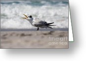 Tern Greeting Cards - One Upset Royal Tern Greeting Card by Bonnie  Anderson