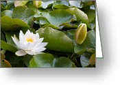 Knob Greeting Cards - Open and Closed Water Lily Greeting Card by Semmick Photo