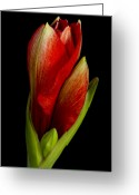 Flower Greeting Card Greeting Cards - Orange Amaryllis Bloom Greeting Card by James Bo Insogna