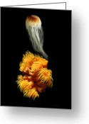 Transformative Art Greeting Cards - Orange Anemone Greeting Card by Lisa Redfern
