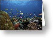 Tropical Fish Greeting Cards - Orange Basslets And Other Reef Fish Greeting Card by Terry Moore
