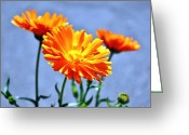 Orange Daisy Photo Greeting Cards - Orange Blossoms Greeting Card by Cathie Tyler