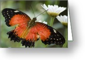 Claire Copley Greeting Cards - Orange Butterfly on a Daisy Greeting Card by Pixie Copley