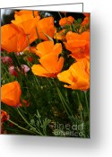 Orange Flower Photo Greeting Cards - Orange California Poppy . 7D14756 Greeting Card by Wingsdomain Art and Photography