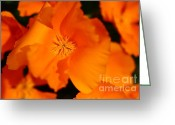 Orange Flower Photo Greeting Cards - Orange California Poppy . 7D14794 Greeting Card by Wingsdomain Art and Photography